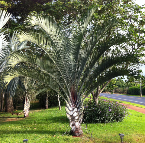 Dypsis decaryi (Triangle Palm)