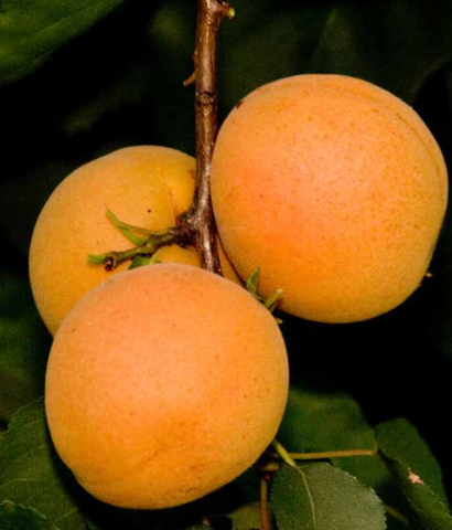 EZ Pick Tropic Gold Apricot