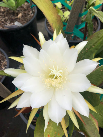 Epiphyllum Young Nun