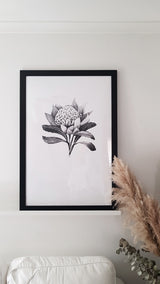 Black and white waratah watercolor art print