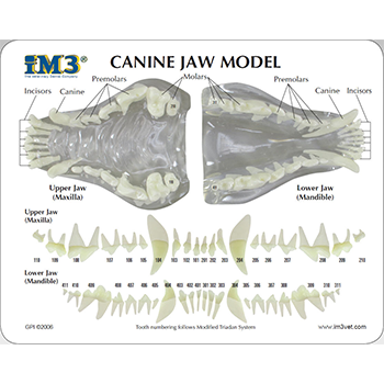 Canine Jaw Model - clear