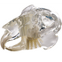 Clear Rabbit (Leporidae) Skull Model