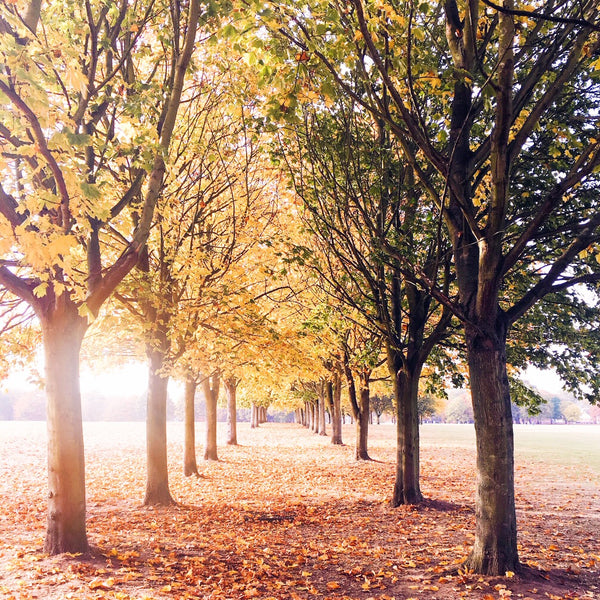 Trees with autumnal coloured leaves, perspective leading away into the distance