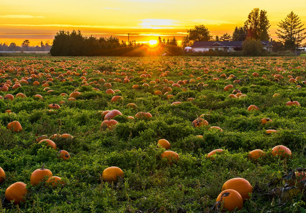 picture of a pumpkin patch at sunset