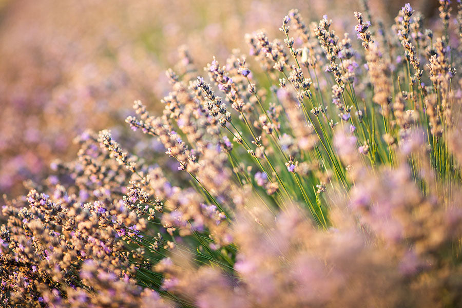 lavender flowers plant material