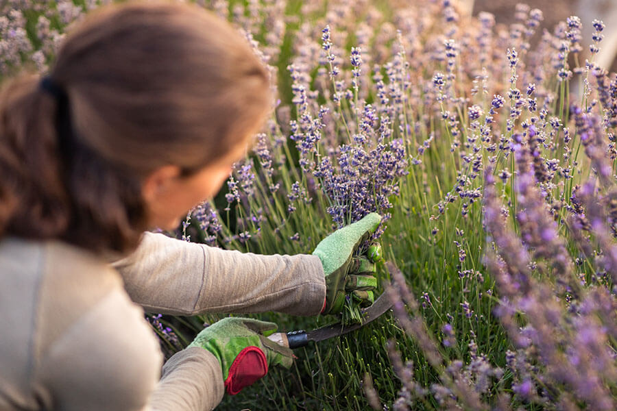 Benefits and Uses of Lavender Hydrosol
