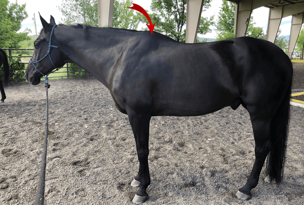 WHAT IS A HAND – HOW TO MEASURE YOUR HORSE