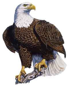 Color Decal - Eagle