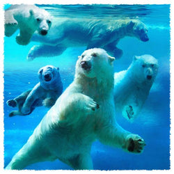 Water Ballet Polar Bears Giclee