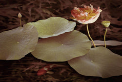 Lily Pads And Lotus Bloom Giclee