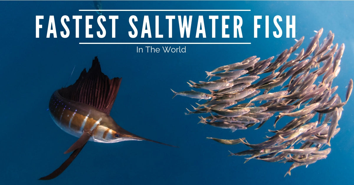 Fastest Saltwater Fish