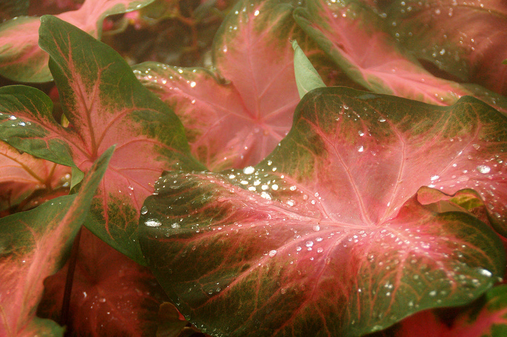 Caladiums in the Mist / various sizes available / photography