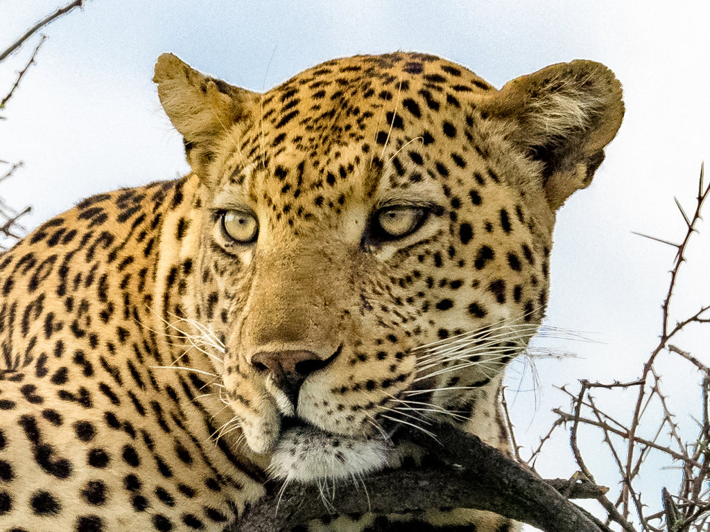 Leopard Resting on a Tree Limb