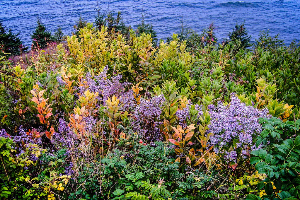 Flowers by the Sea, Owls Head, Maine
