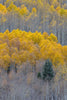 Golden Aspens / various sizes available / digital photograph