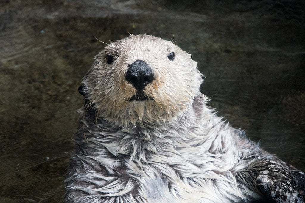Sea Otter 1021 / custom sizes available / custom substrates available