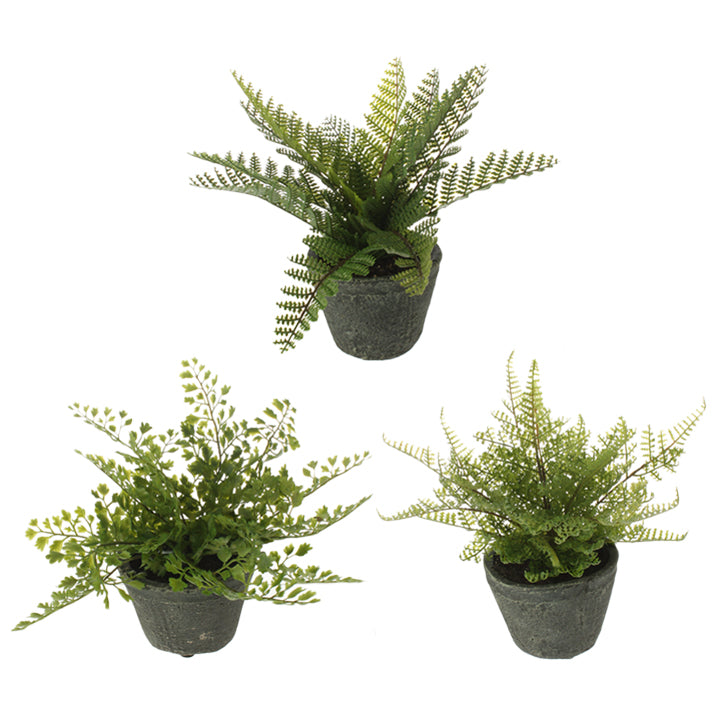 Fern | Potted