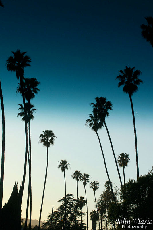 Blue Cali Palms