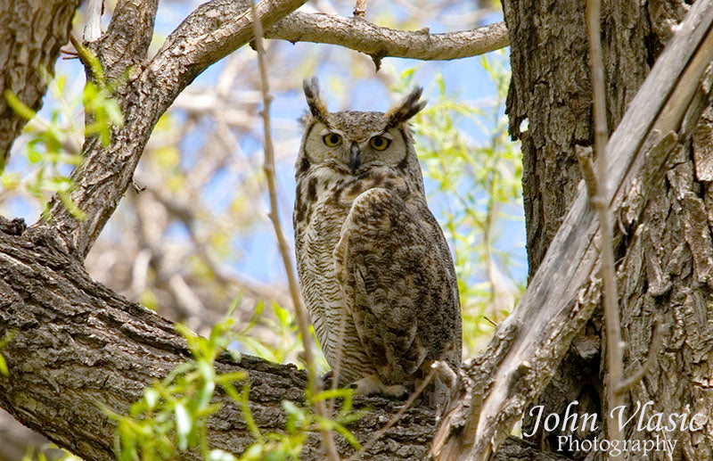 Great Horned Owl Spring