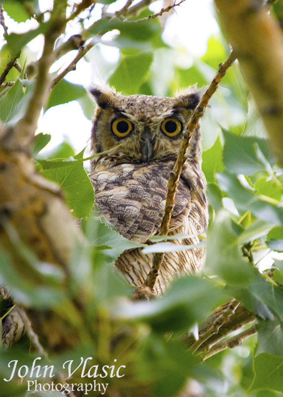 Owl Through the Trees