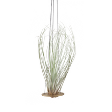 air plant hanger >> minimal design >> gold >> plant included