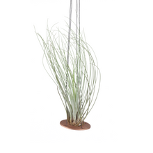 air plant hanger >> minimal design >> copper >> plant included