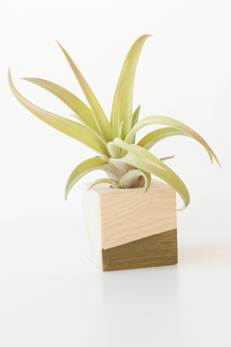 Air Plant Magnet >> Olive Cube