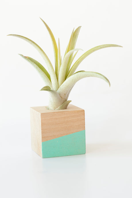 Air Plant Magnet >> Blue Cube