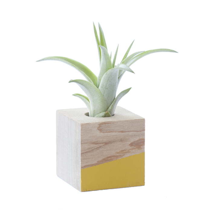 Air Plant Magnet >> Yellow Cube