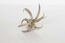 Tillandsia Capitata Peach - Medium Air Plant