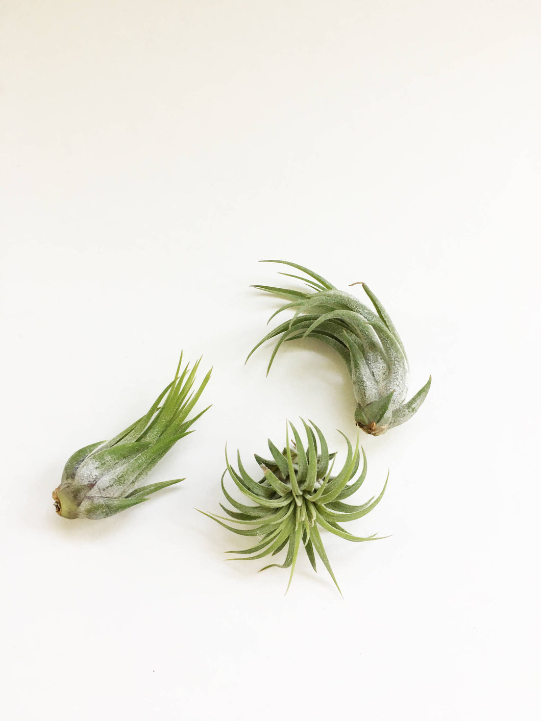 Ionantha Variety Air Plant - One Plant - Large Air Plant