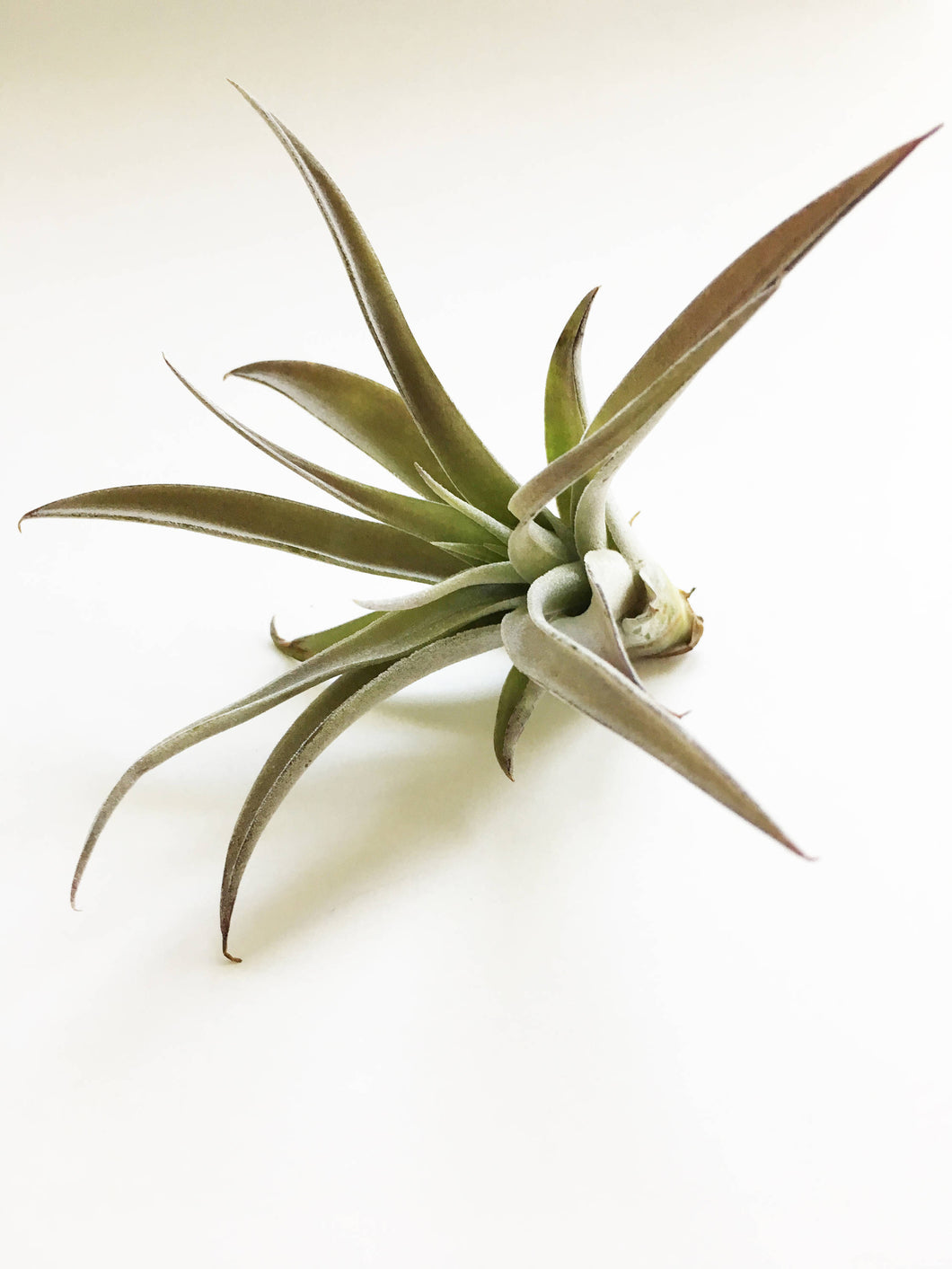 Harrisii Air Plant - One Plant - Large Air Plant