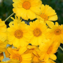 DESERT MARIGOLD cardstock color is similar to these Desert Marigold flowers