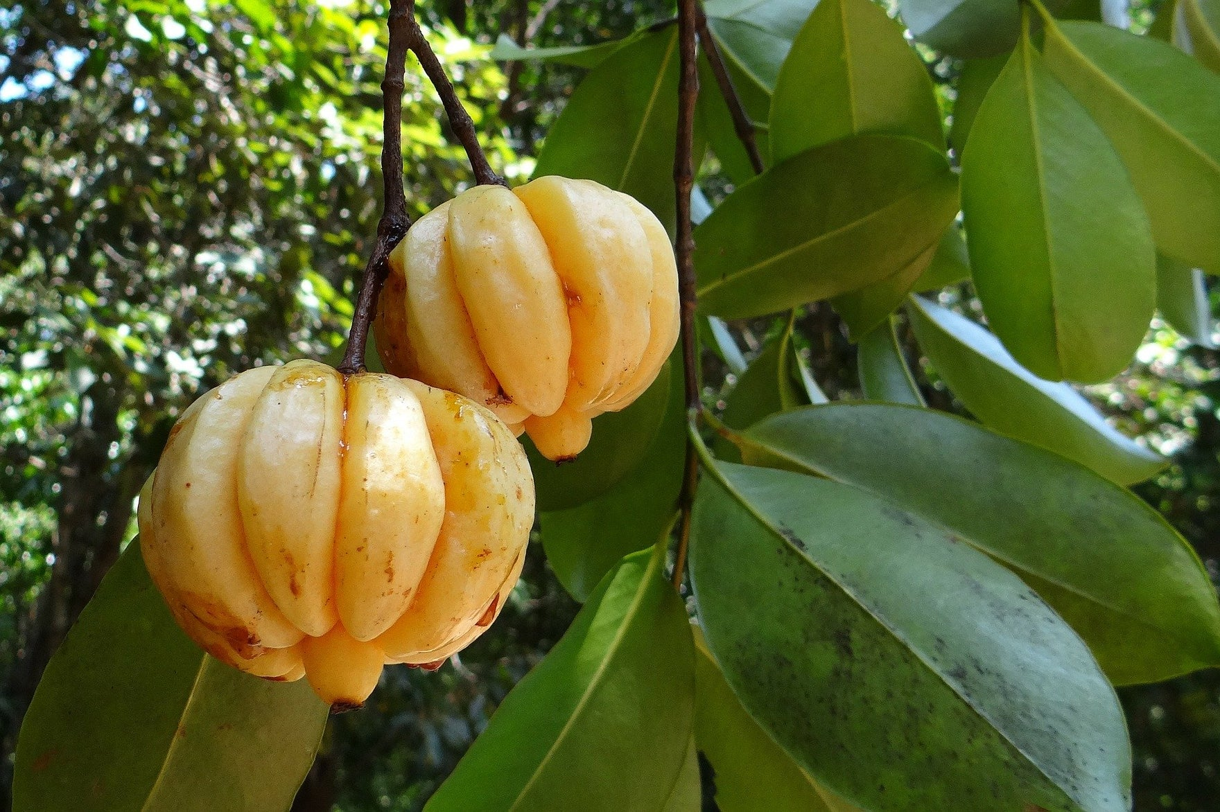 garcinia cambogia in a tree