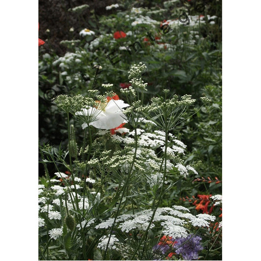 'Queen Anne's Lace' gift card