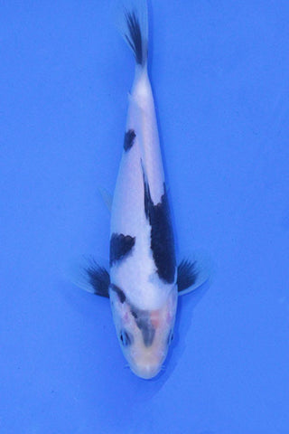 #01 Shiro Utsuri - NND - Elite Koi Own & Show 2020