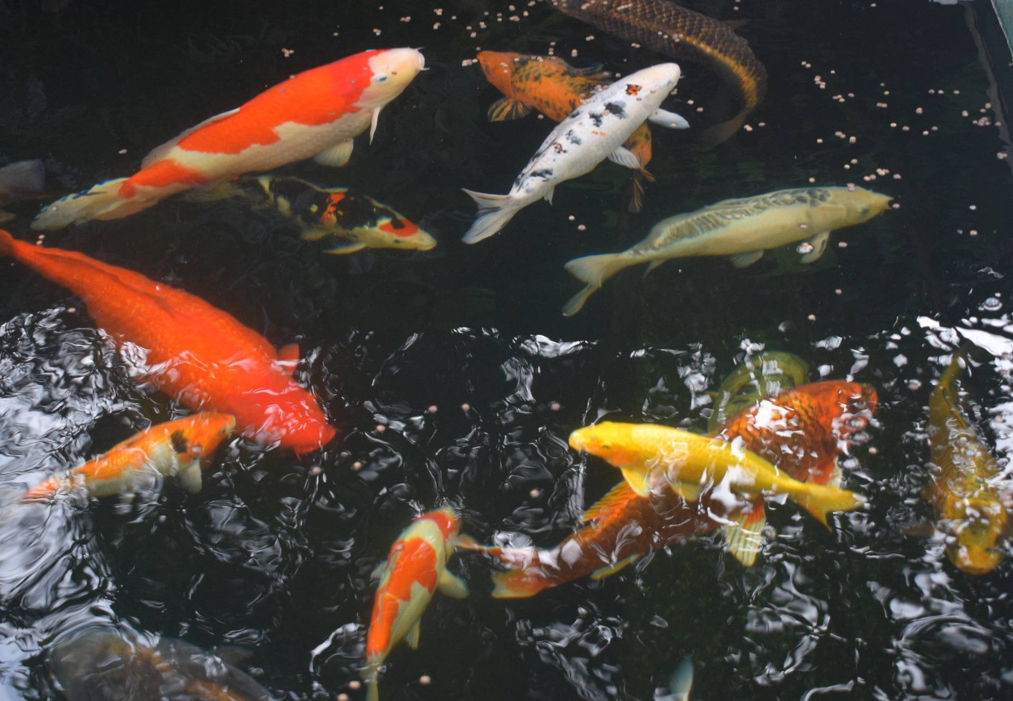 Elite koi suppliers of quality koi fish foods pond for All black koi fish