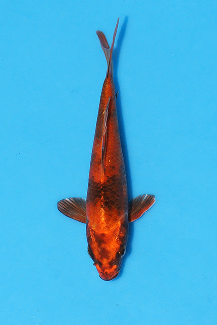 EK236 - Kin Hi Utsuri - Aokiya - Koi For Sale - Elite Koi