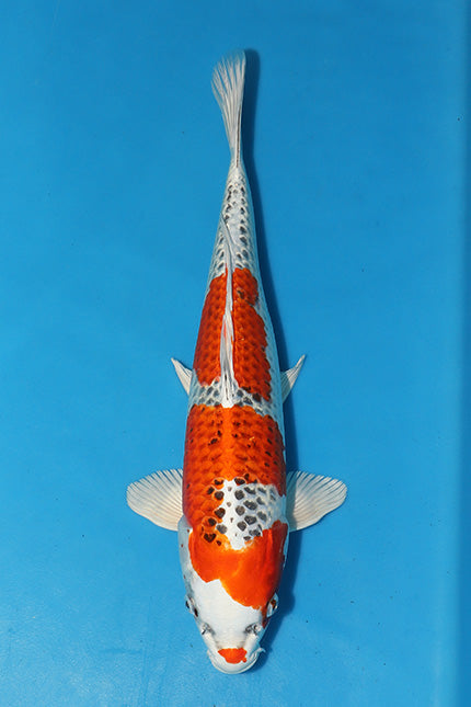 EK265 - Kujaku - Marusaka - 44cm - Koi for Sale - Elite Koi