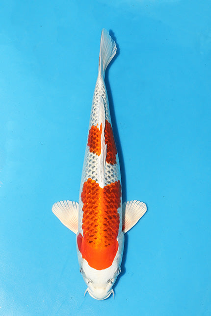 EK266 - Kujaku - Marusaka - 47cm - Koi for Sale - Elite Koi