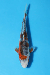 EK349 - Asagi - 19cm - Oofuchi - Koi For Sale - Elite Koi