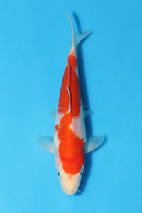 EK375 - Kohaku - 19cm - Oofuchi - Koi For Sale - Elite Koi