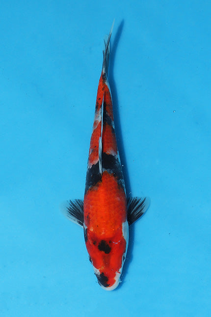 EK389 - Showa - 24cm - Maruhiro - Koi For Sale - Elite Koi