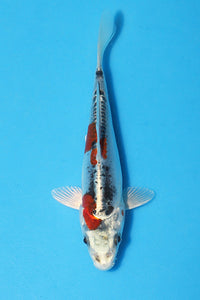EK415 - Beni Kikokuryu - 15cm - Oofuchi - Koi For Sale - Elite Koi