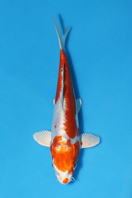EK425 - Kikusui - 17cm - Oofuchi - Koi For Sale - Elite Koi