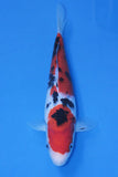 High Quality Sanke - Japanese Koi Carp for Sale UK