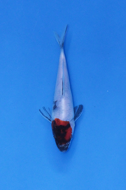 Tancho Showa - Japanese Elite Koi For Sale UK