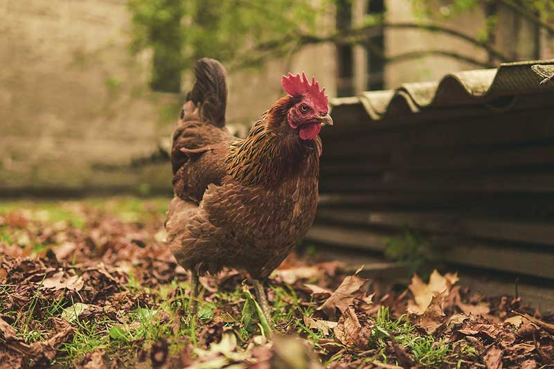 About Chicken Coops