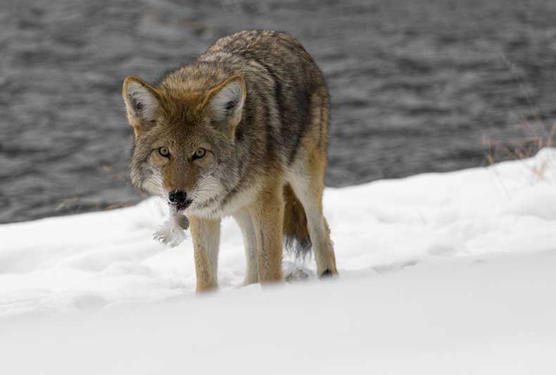 Coyotes in the Winter