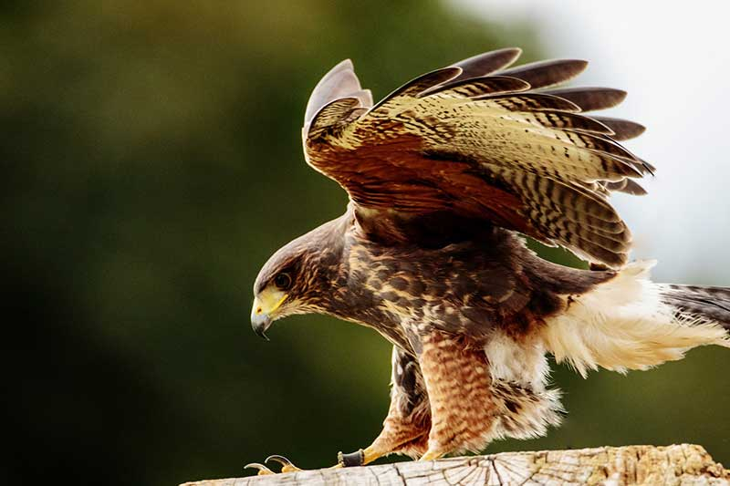 Hawk Preys On Dog